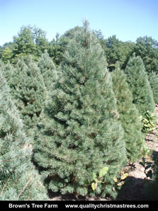 Scotch Pine Christmas Tree Image 8