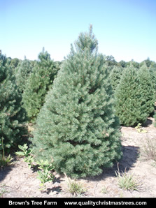 Scotch Pine Christmas Tree Image 9