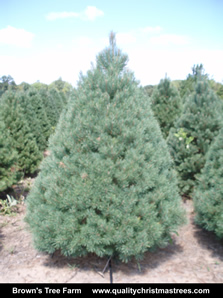 Scotch Pine Christmas Tree Image 10