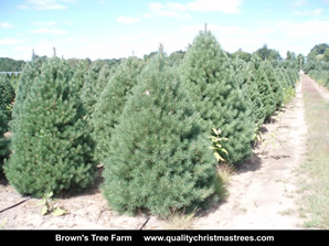 Scotch Pine Christmas Trees Image 12