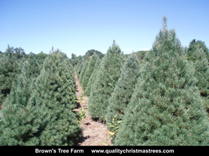 Scotch Pine Christmas Trees Image 13