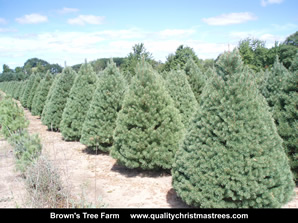 Scotch Pine Christmas Trees Image 14