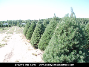Scotch Pine Christmas Trees Image 15