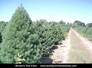 Scotch Pine Christmas Trees Image 17