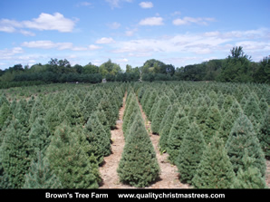 Scotch Pine Christmas Trees Image 18