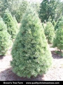 White Pine Christmas Tree Image 1