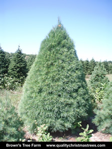 White Pine Christmas Tree Image 3