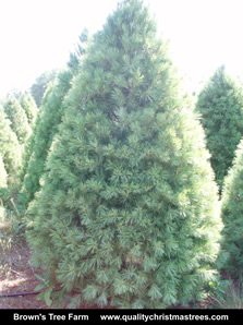 White Pine Christmas Tree Image 5