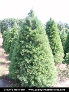 White Pine Christmas Tree Image 7