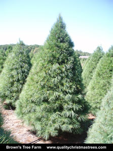 White Pine Christmas Tree Image 8