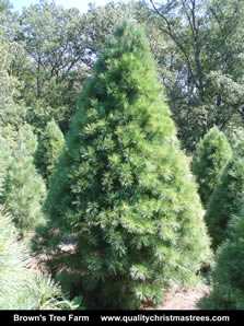 White Pine Christmas Tree Image 9