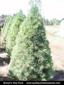 White Pine Christmas Tree Image 10