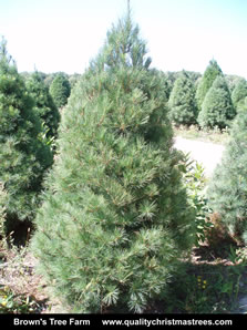 White Pine Christmas Tree Image 12