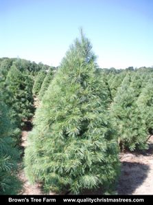 White Pine Christmas Tree Image 13