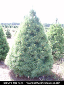 White Pine Christmas Tree Image 14