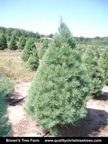 White Pine Christmas Tree Image 15