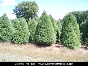 White Pine Christmas Trees Image 17