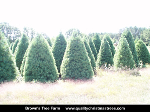 White Pine Christmas Trees Image 18