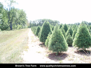 White Pine Christmas Trees Image 19