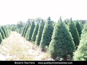 White Pine Christmas Trees Image 20