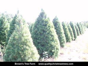 White Pine Christmas Trees Image 21